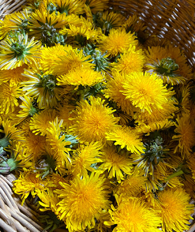 200430-chizu-20_tarassaco.jpg