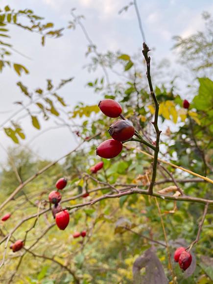 201127_21.rosacaina1.jpg