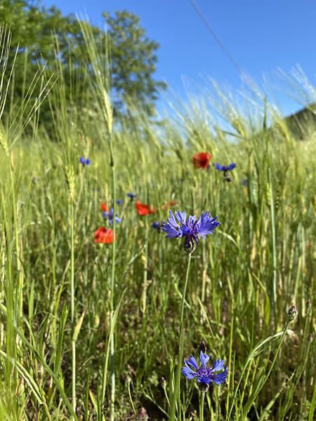 210531_4.fiori di campo1 copia.jpg