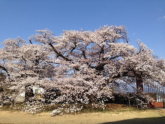 170419_09桜2.jpg