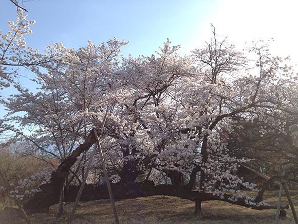170419_08桜.jpg