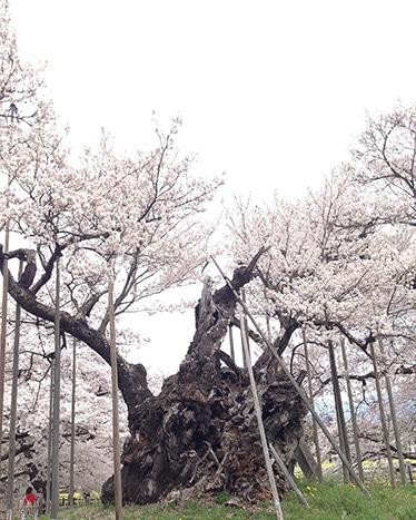 170419_10桜5.jpg