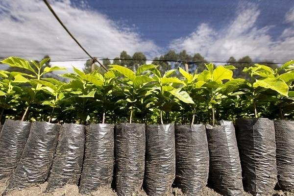 161226-Pur Projet Nespresso Agroforestry 1-600400.jpg