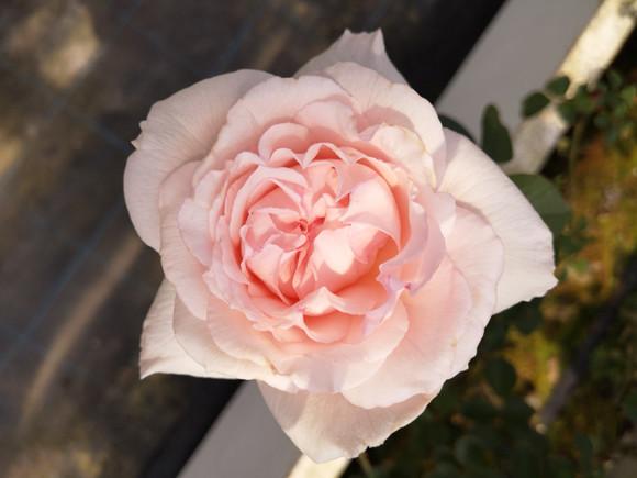 201022-rose-03.jpg
