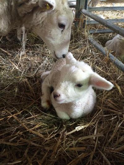 210402-lamb.jpg